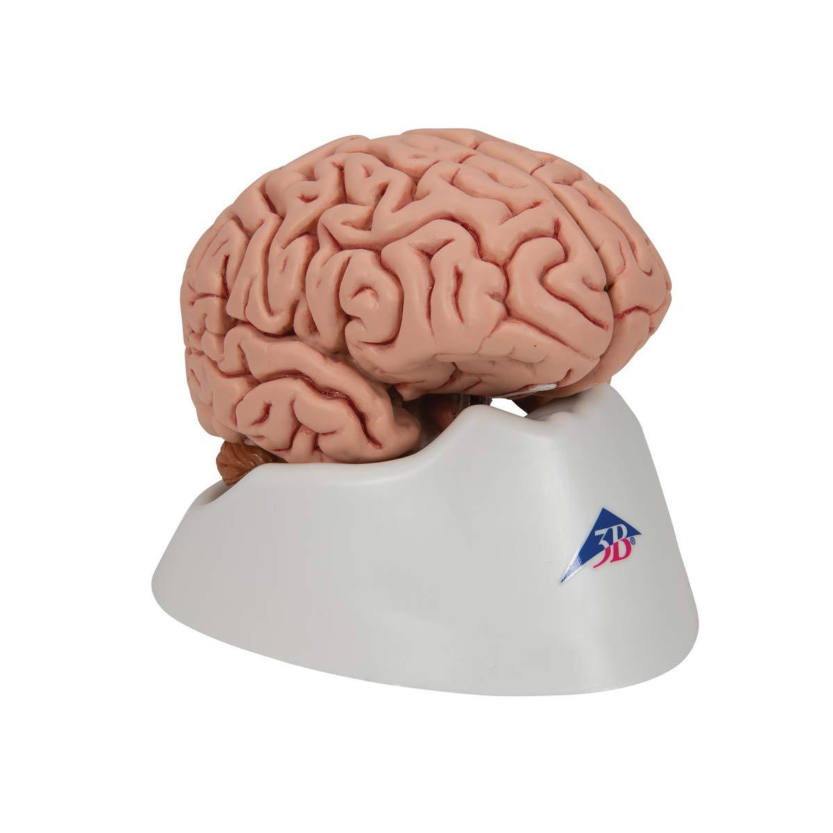 3B 5-part brain model
