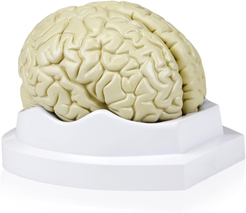 Walter Products B10401-3 Human Brain Model,