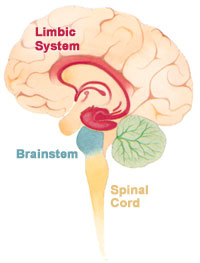 structure and function of the brain